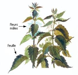 Spray capillaire anti chute et anti casse aux feuilles de goyave - Feuille de goyave acheter ...